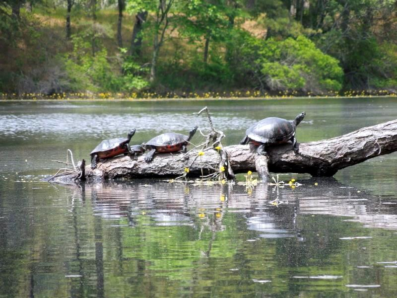 3 turtles on a log